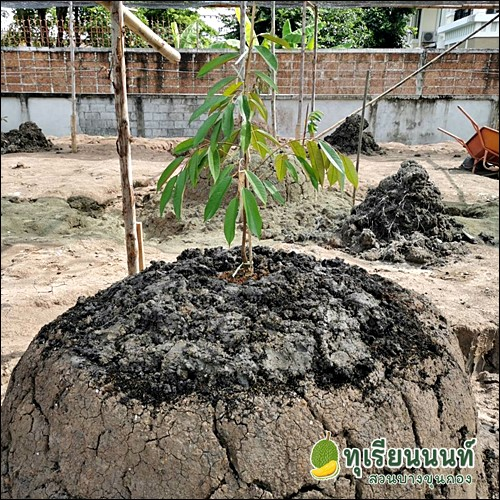 How to grow durian1