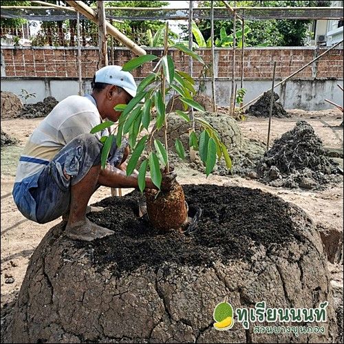 How to grow durian15