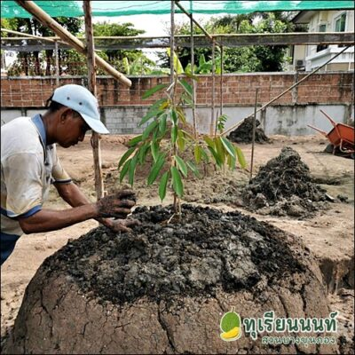 How to grow durian2