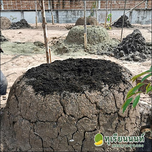 Durian planting soil preparation