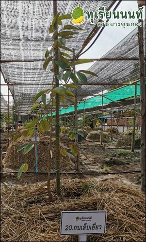kob lep yiew durian 20