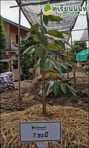 7 Durian Gibbon