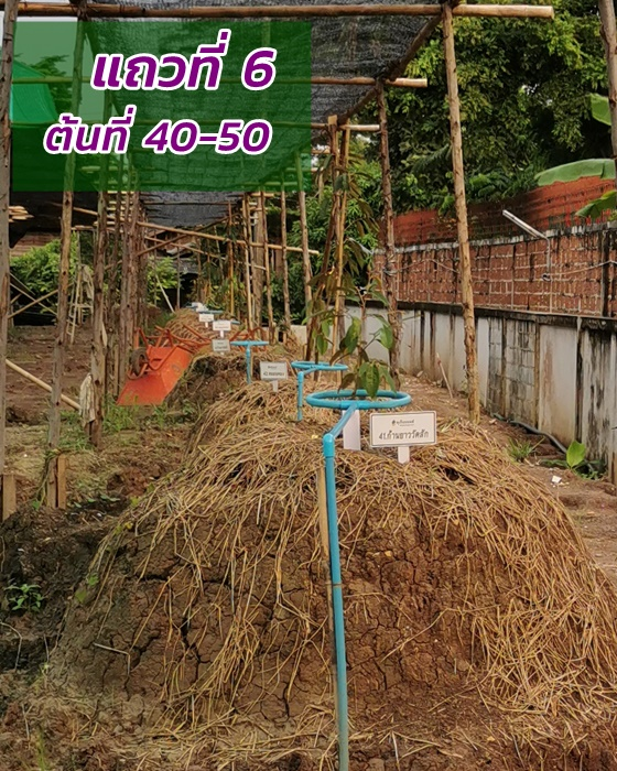 Durian row 6