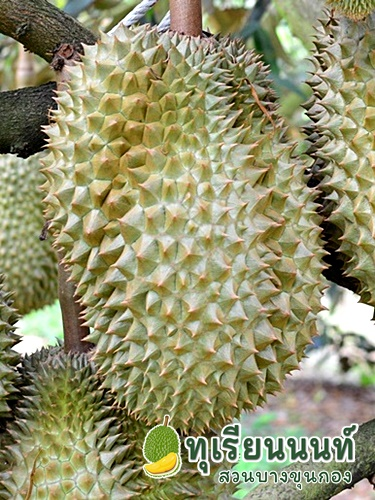 Durian Monthong Breed characteristics